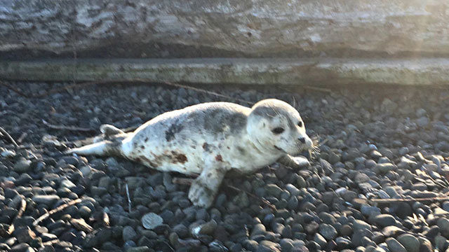 Infected East Coast seals are washing ashore – and are a danger to people and pets, experts say